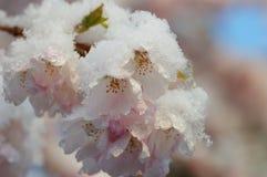 вишня цветения покрыла снежок Стоковая Фотография