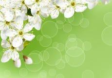 вишня цветения предпосылки Стоковые Изображения RF