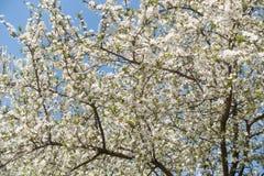 вишня цветения предпосылок предпосылки больше моего portfollio Стоковое Изображение RF