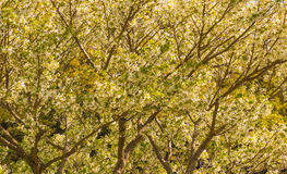 вишня цветения предпосылок предпосылки больше моего portfollio Стоковые Изображения