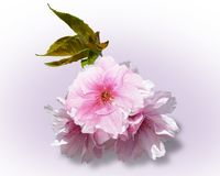 Вишня цветения розовая весной Стоковые Фото