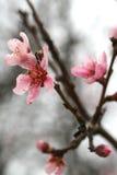 вишня цветения цветенй Стоковые Фотографии RF