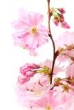 вишня цветения цветет белизна sakura Стоковые Изображения