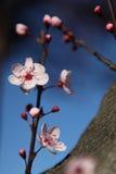 Вишня цветения цветет над предпосылкой природы и голубого неба Стоковые Изображения RF