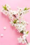 вишня цветения Стоковые Фотографии RF
