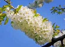 вишня цветения Стоковые Изображения RF