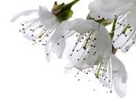 вишня цветения Стоковое Изображение
