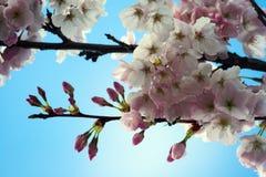 вишня цветения Стоковая Фотография RF