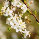 вишня цветет белизна Стоковая Фотография