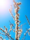 Вишня цветет белизна цветения восточная против неба предпосылки голубого с съемкой макроса лучей солнечности Стоковое Изображение