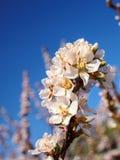 Вишня цветет белизна цветения восточная против неба предпосылки голубого с съемкой макроса лучей солнечности Стоковые Изображения RF