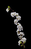 вишня цветет белизна Стоковое Изображение RF