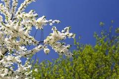 вишня цветет вал Стоковое фото RF