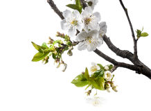 Вишня цветет весной над белой предпосылкой Стоковые Изображения RF