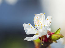 вишня цветет весной Стоковые Изображения RF