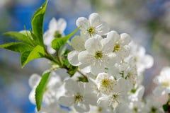 вишня цветет рамка стоковые фотографии rf