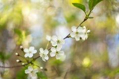 Вишня цветка цветеня весны с крупным планом bokeh Стоковые Фото