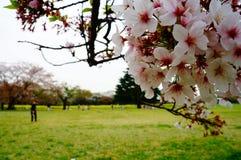 вишня япония цветения стоковые изображения