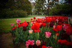 вишня япония цветения стоковая фотография