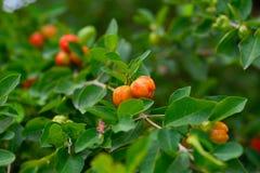 Вишня Acerola Стоковая Фотография RF