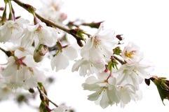 вишня oriental цветения Стоковые Изображения