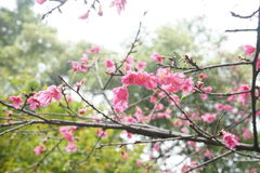 вишня oriental Стоковые Фото