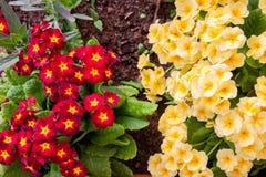 Вишня Primula цветков яркая и желтый цвет Стоковое Изображение RF