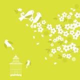 вишня sakura цветения птиц Стоковая Фотография