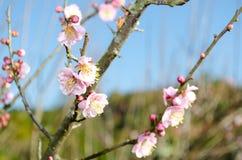 вишня sakura цветения стоковые изображения rf