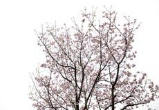 вишня sakura цветения Стоковое Изображение RF