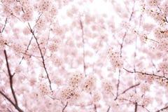 вишня sakura цветения Стоковые Фотографии RF
