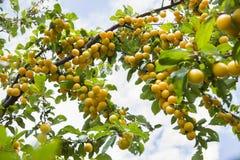 Вишн-сливы вися от banch дерева f Стоковые Изображения RF