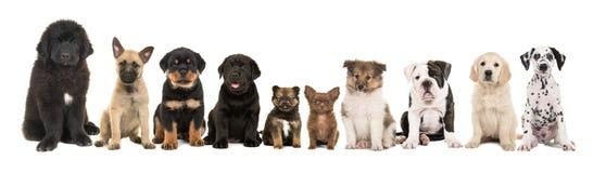 Вид большой группы из десяти различный щенят породы Стоковое Изображение