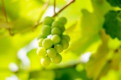 Вид виноградин пуков от лозы Стоковое Изображение RF
