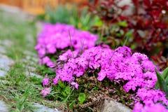 Вид гвоздики зацветая весной заполняет сад с очень вкусным благоуханием гвоздичного дерева Стоковая Фотография
