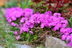 Вид гвоздики зацветая весной заполняет сад с очень вкусным благоуханием гвоздичного дерева Стоковое Изображение