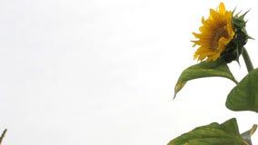 Видео солнцецвета пошатывая в ветерке на белой предпосылке сток-видео