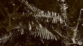 Видео черно-белых листьев Dryopteris видеоматериал