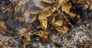 Видео Timelapse горящей большой кучи листьев и хворостин приходя назад от зол в осени в 4k 4096 пикселах, 24fps сток-видео