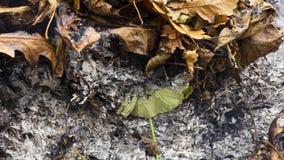 Видео Timelapse loopable горения и rebirthing большие зеленые лист в золах большой кучи листьев в 3840 пикселах 15fps акции видеоматериалы