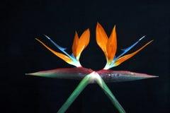 Видеть двойные райские птиц Стоковая Фотография RF