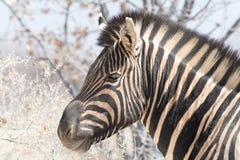 Видеть зебру нашивок Стоковая Фотография RF