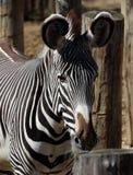 Видеть зебру нашивок Стоковые Изображения RF