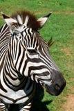 Видеть зебру нашивок Стоковое Фото