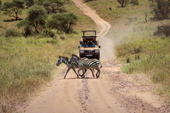 Виллис и зебры Стоковые Изображения