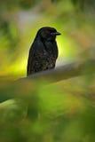 Вилк-замкнутый Drongo, adsimilis Dicrurus, деталь экзотической серой птицы чёрного африканца с красным глазом, спрятанная в зелен Стоковые Изображения