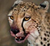 вид портрета geppard гепарда Конец-вверх Кения Танзания вышесказанного Национальный парк serengeti Maasai Mara стоковые фото