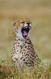вид портрета geppard гепарда Конец-вверх Кения Танзания вышесказанного Национальный парк serengeti Maasai Mara стоковая фотография rf