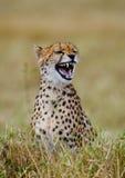 вид портрета geppard гепарда Конец-вверх Кения Танзания вышесказанного Национальный парк serengeti Maasai Mara стоковое изображение