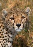 вид портрета geppard гепарда Конец-вверх Кения Танзания вышесказанного Национальный парк serengeti Maasai Mara стоковые изображения